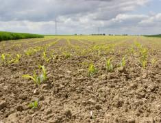junger Mais wchst auf dem Feld in der Landwirtschaft