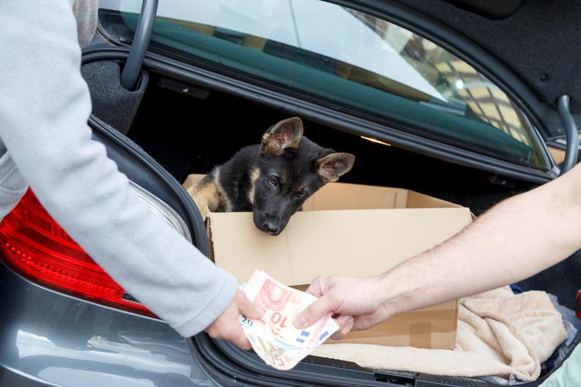 Hände weg von Hundewelpen, die nicht von seriösen Züchtern angeboten. (Foto: juefraphoto/Fotolia)